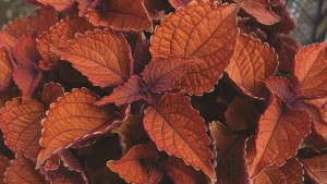 4 Colorful New Coleus For 2014