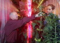 Cary Mitchell, from left, and Celina Gomez harvest tomatoes grown around red and blue LED lights, which use far less energy than traditional high-pressure sodium lamps in greenhouses. (Purdue Agricultural Communication photo/Tom Campbell)