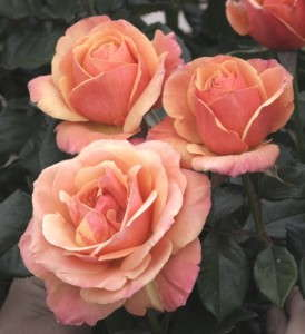 Rosa 'Anna's Promise' from Weeks Roses is part of a collection of roses insprired by the TV series Downton Abbey