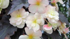 <i>Begonia</i> 'Silhouette Lemon Rose' Doubles The Bloom Of Traditional Non-Stop Begonias