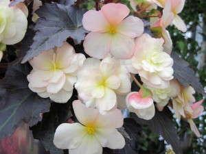 Begonia 'Silhouette Lemon Rose'