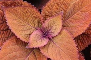 Coleus 'ColorBlaze Keystone Copper'