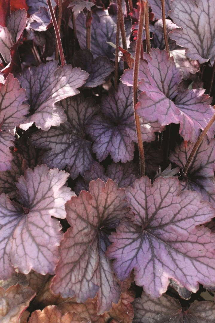 Heuchera 'Carnival Rose Granita' from Ball Horticultural/Darwin Plants