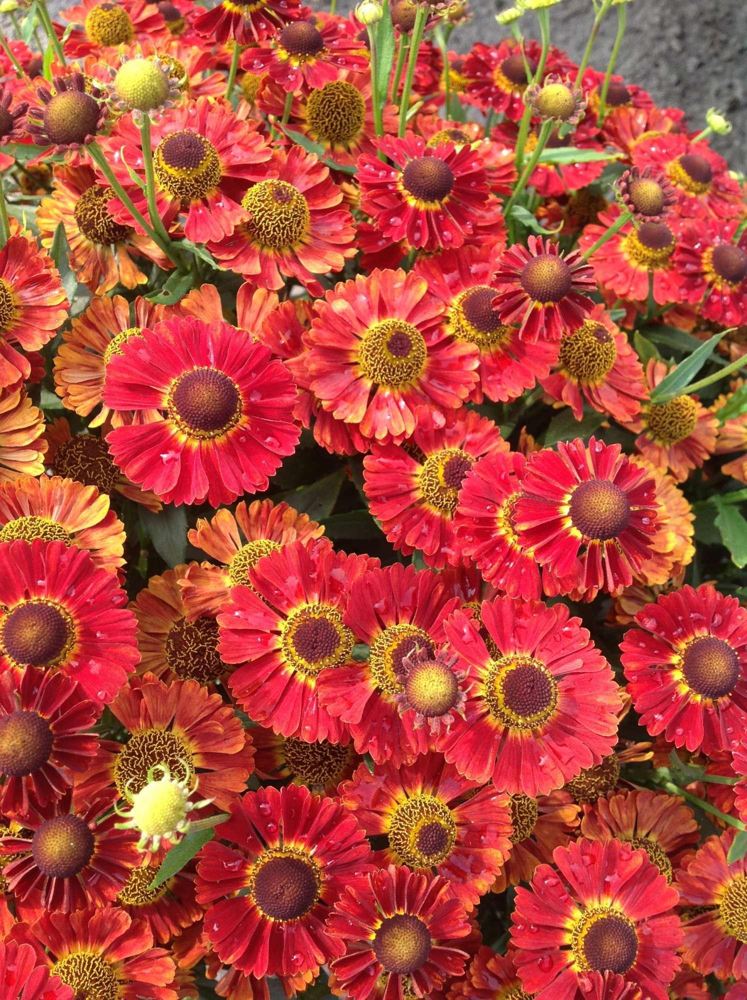 Helenium 'Mariachi Salsa' from Plants Nouveau