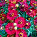 Helenium 'Mariachi Siesta' from Plants Nouveau
