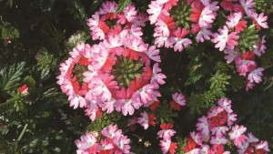 Verbena 'Hurricane Hot Pink' from Westflowers