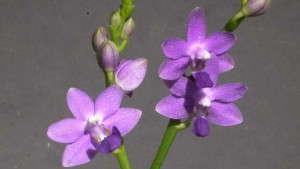 Genetic Modification Produces True Blue Orchid