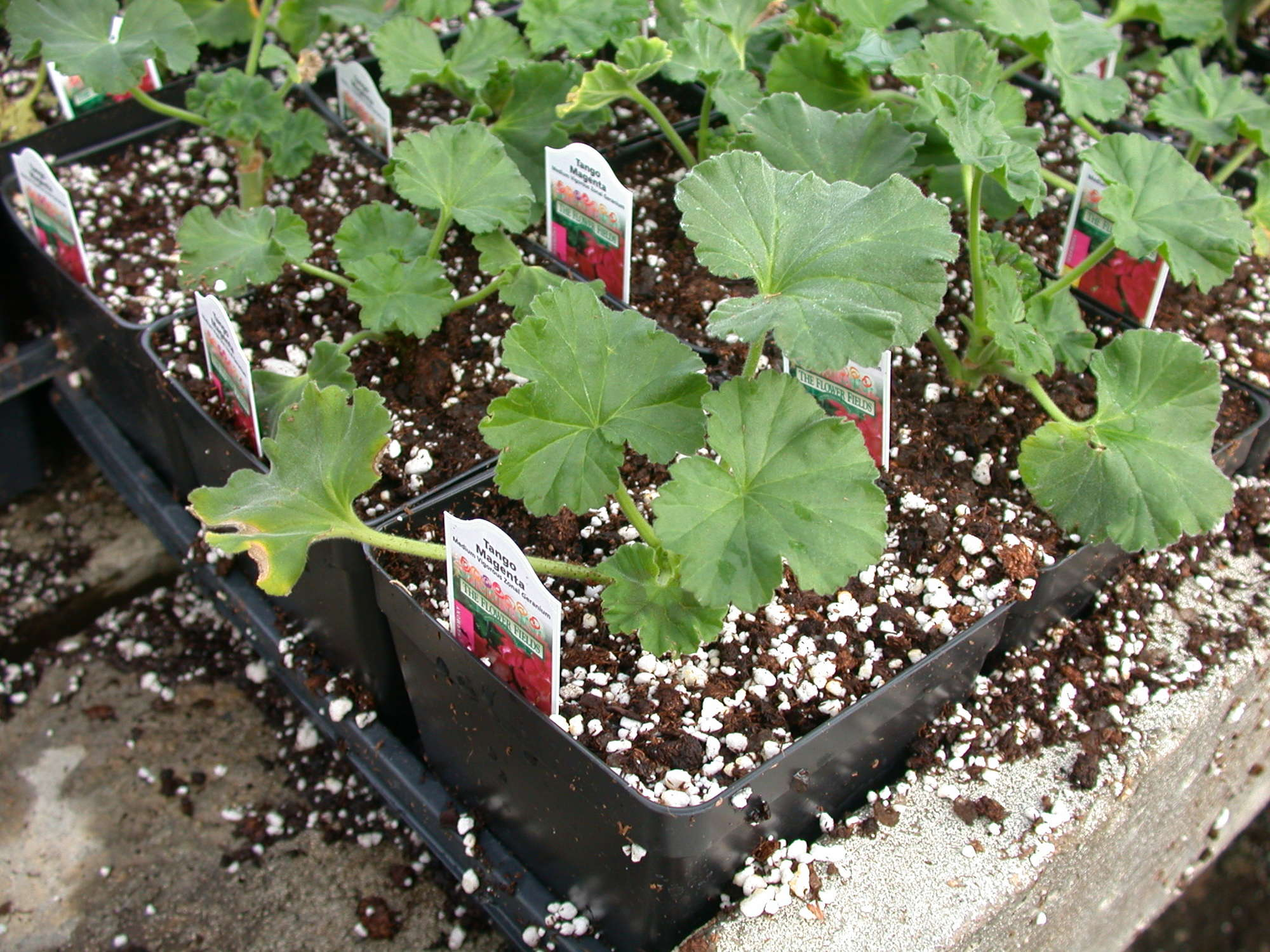 A geranium in a 4-inch square pot takes up just over one-tenth of a square foot. Multiplied by four weeks of growing time, it takes up approximately four-tenths square foot weeks in the greenhouse. PGRs can reduce the space needed, which leads to a lower fixed cost per plant.