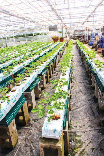 Growing strawberries at Gro-Rite