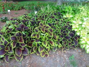 PS---Kong-Jr-Scarlet-Coleus