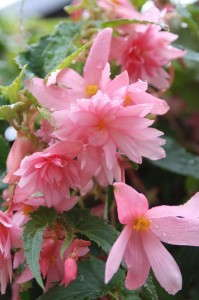 PS96DPI_Begonia-Breezy-Pink