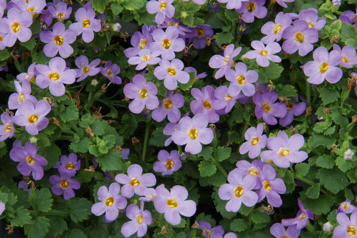 Bacopa 'Big Falls Dark Blue'