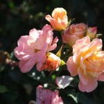 Rosa 'Peach Drift' (rose)