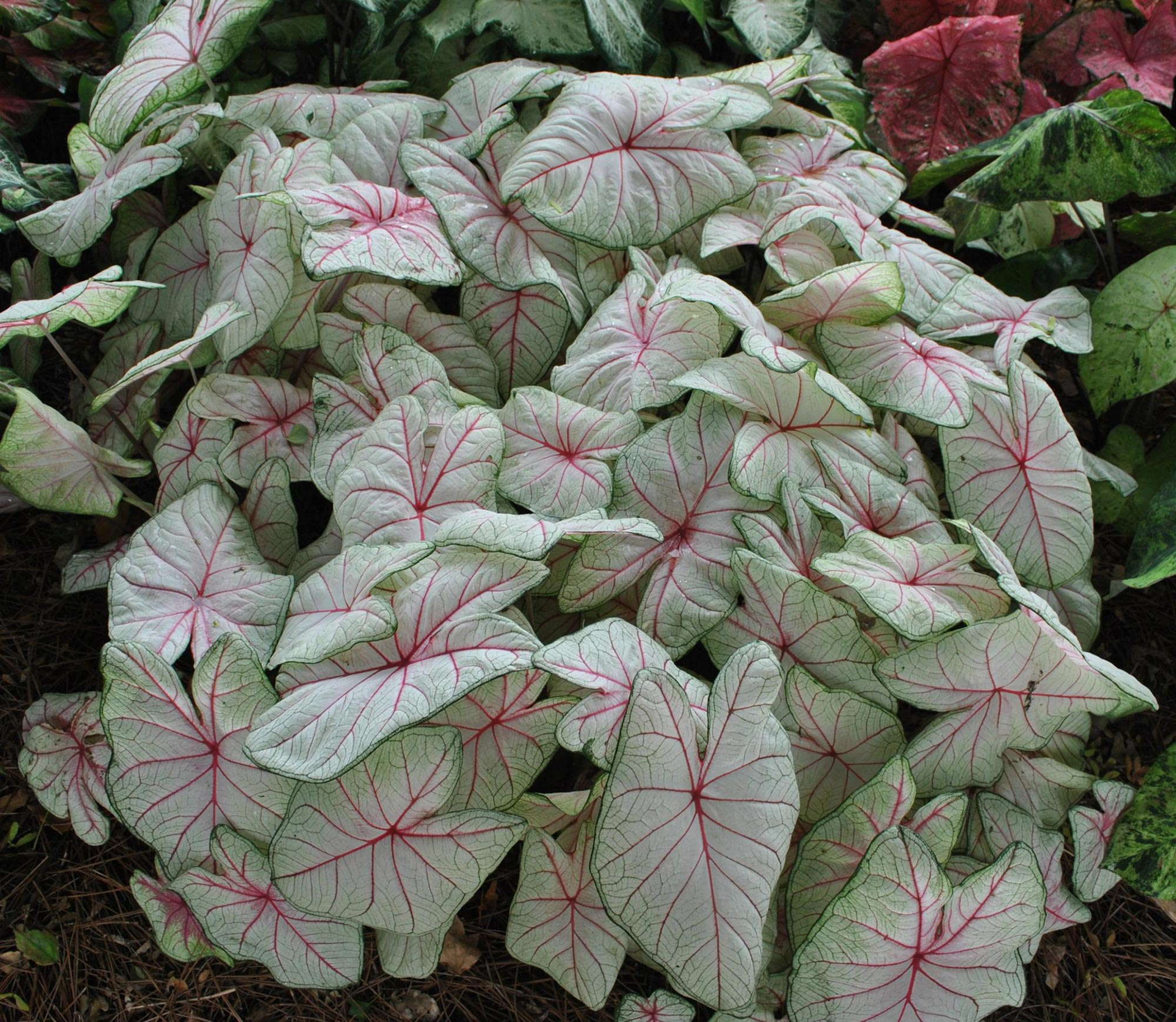 caladium_summer-breeze-cc