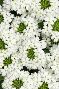 Verbena 'Superbena Royale Whitecap' from Proven Winners
