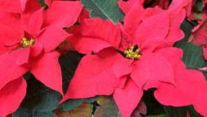 Drive After Christmas Sales With A Poinsettia Trade-In Program