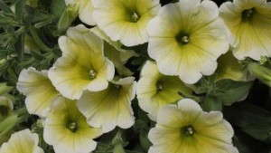 Successfully Propagating Yellow Petunias