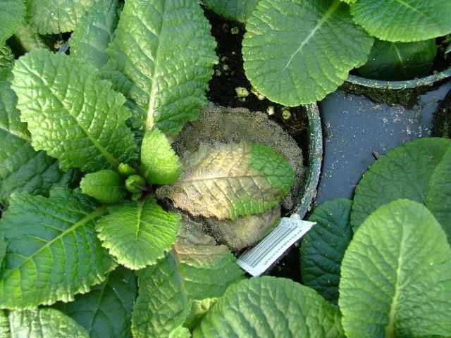 Primula acaulis, Botrytis, Disease, Griffin Greenhouse Supplies