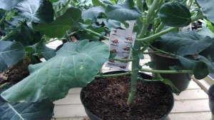 Biocontrols at Pork & Plants. Cucumeris sachet in broccoli plants.