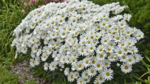Tips for Finishing Leucanthemum Successfully