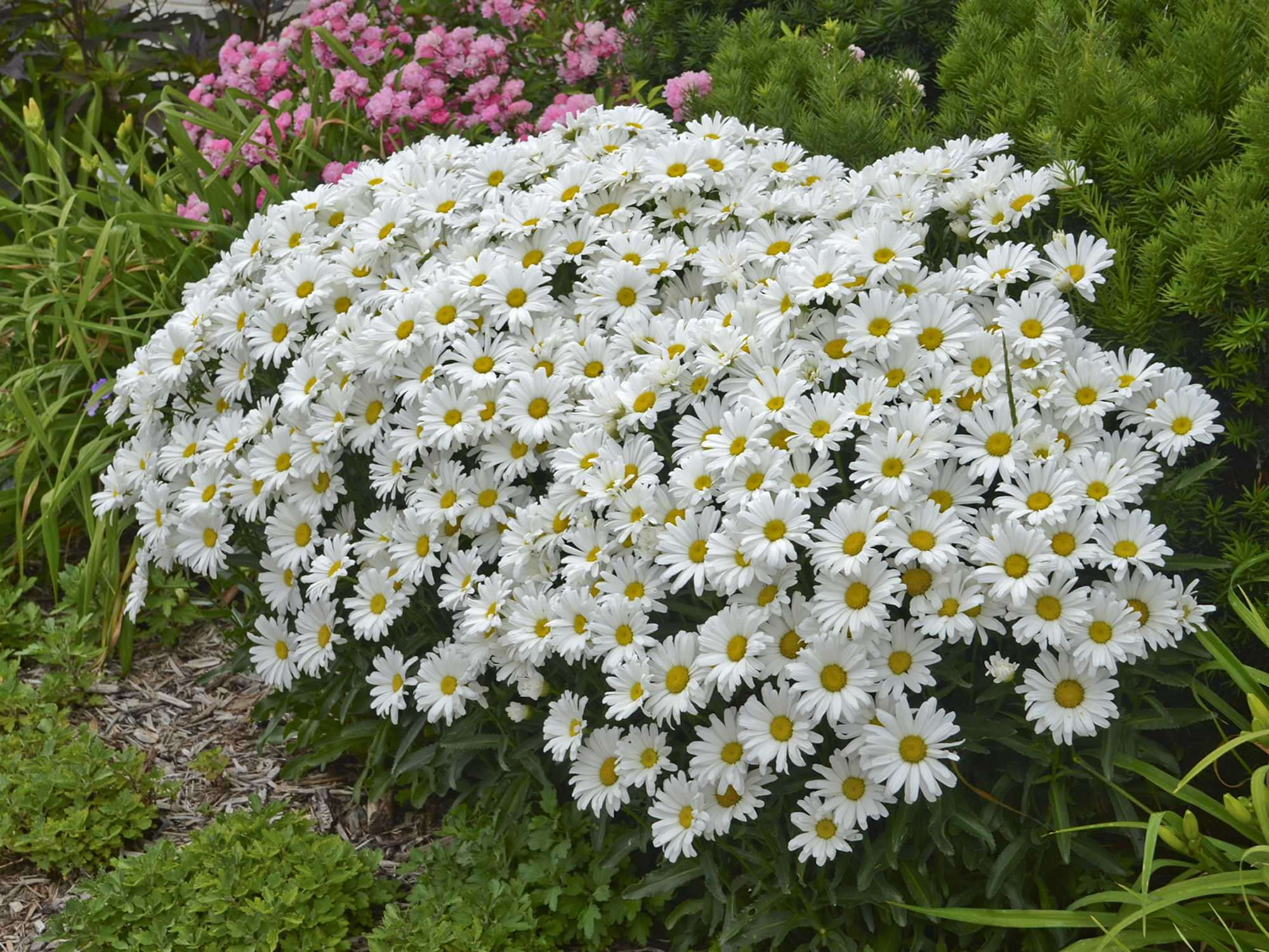 Leucanthemum 'Daisy May'