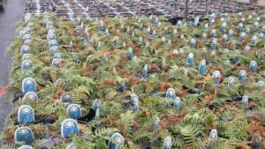 Overwintering Perennials: Plan Ahead To Fungicide Drench And Cover