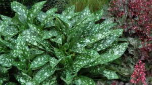 Pulmonaria 'Dark Vader' from Terra Nova Nurseries