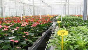 Netherlands' Wageningen UR Greenhouse Horticulture Study shows using diffuse light  results in 25 percent growth rate increase