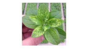 Scouting And Preventative Measures For Tobacco Mosaic Virus (TMV) On Petunia