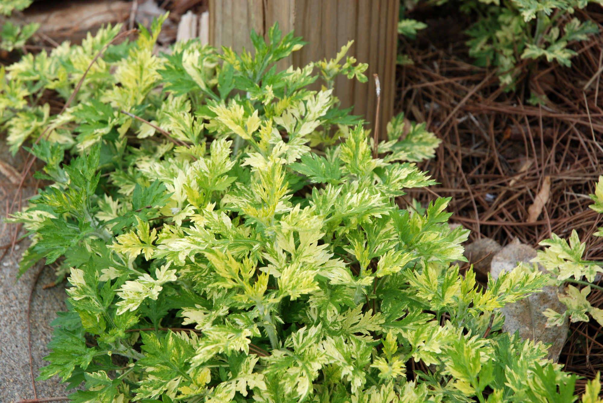 Artemisia vulgaris Limelight UGA Mar, 08