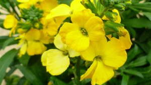 Erysimum 'Cheers' from Darwin Perennials