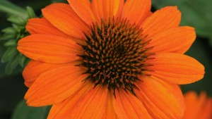 Echinacea 'Sombrero Adobe Orange' from Darwin Perennials
