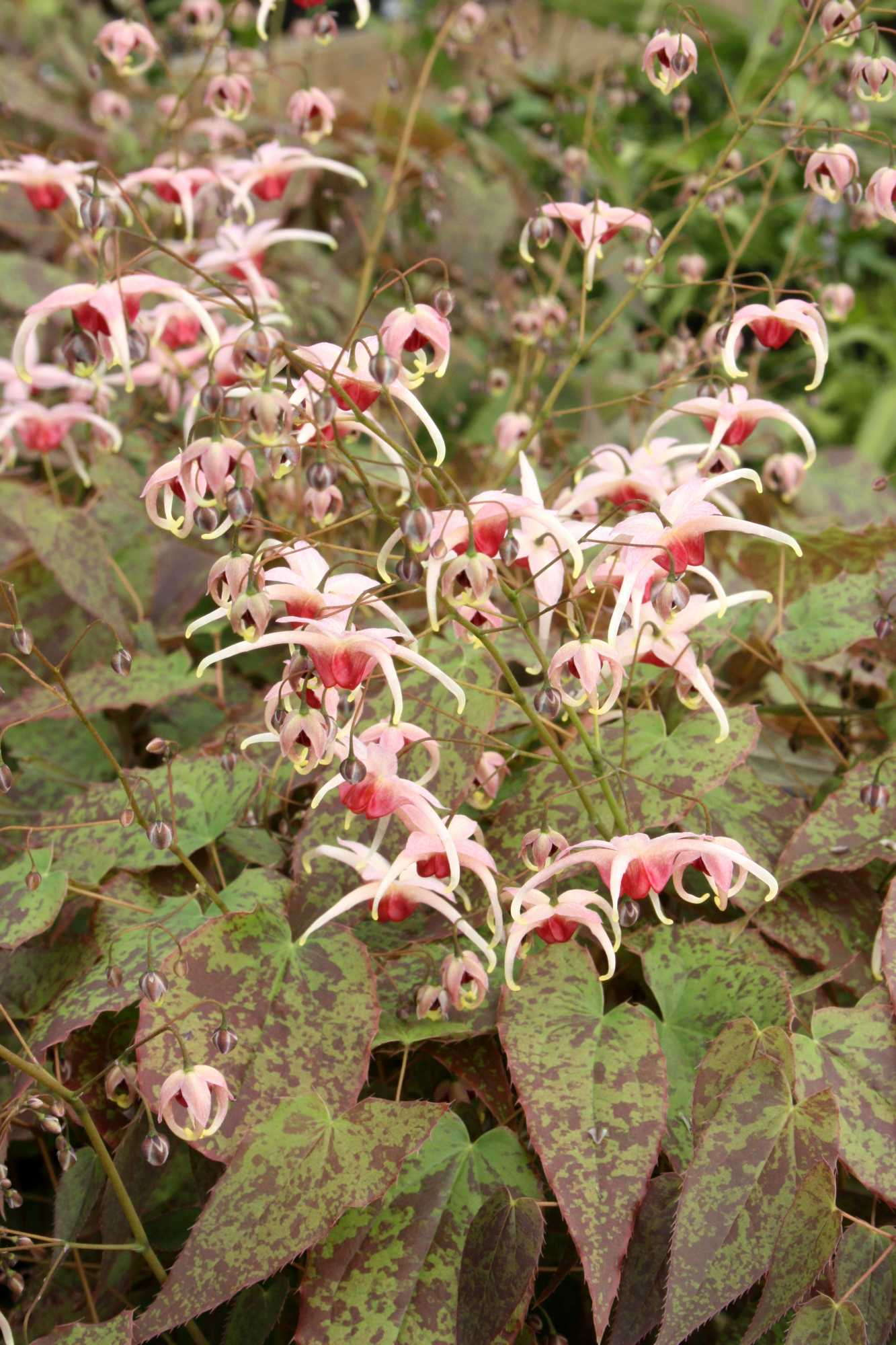 Epimedium 'Pink Champagne.' Photo courtesy of Plant Delights Nursery
