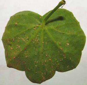 Oedema om Ivy Geranium. Photo credit: SHS Griffin