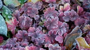 How To Grow Heucherella