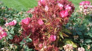 Rose Rosette Disease Fight Gets A Boost From Government Funding