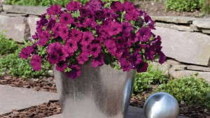 What's New With Petunias For 2014? [Slideshow]