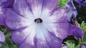 Petunia 'Sanguna Radiant Blue' from Syngenta Flowers/GoldFisch Vegetative