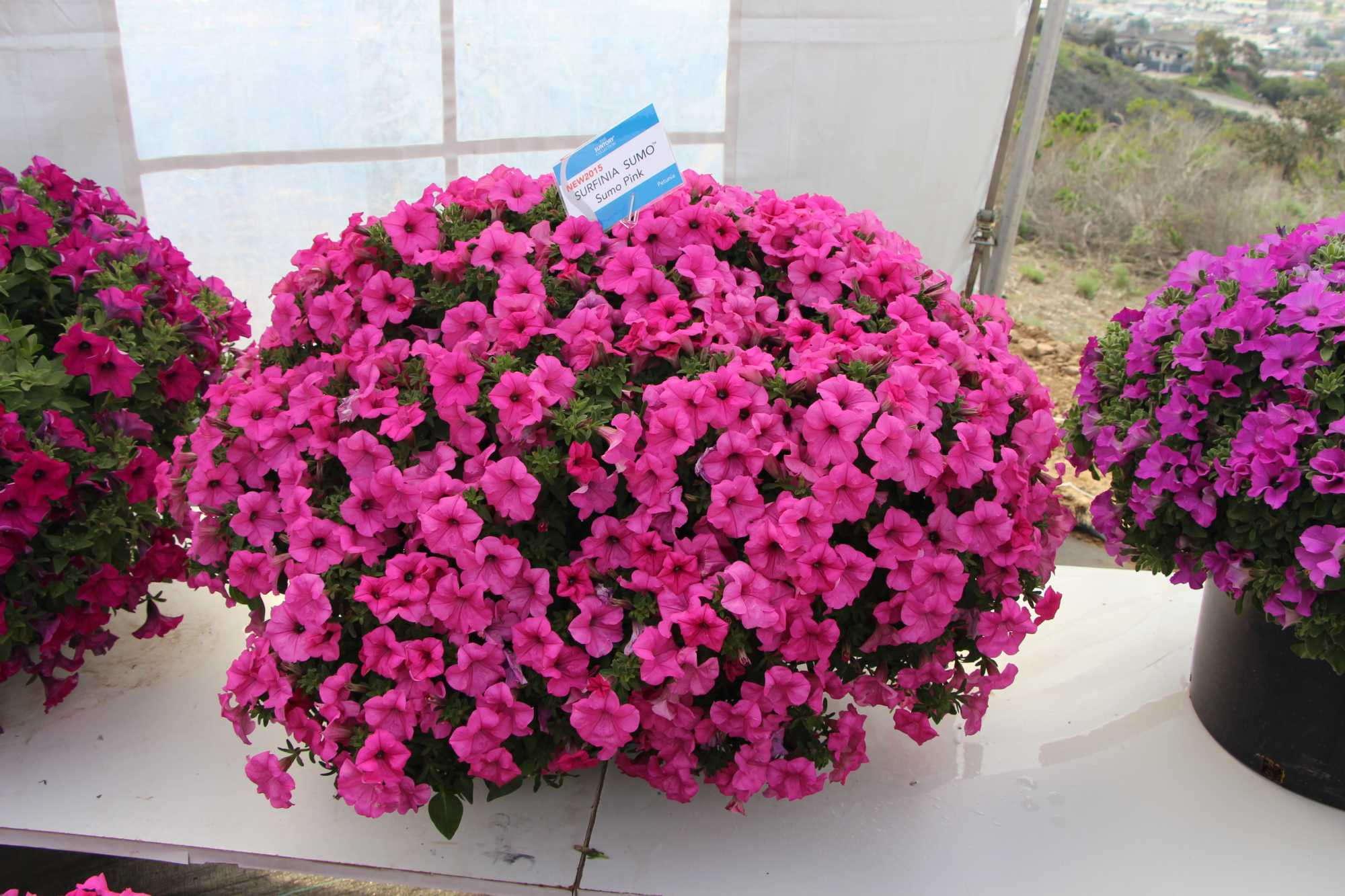 Suntory Flowers Surfinia Sumo Petunia Series