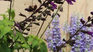 Athena Brazil Salvia 'Brazilian Purple'