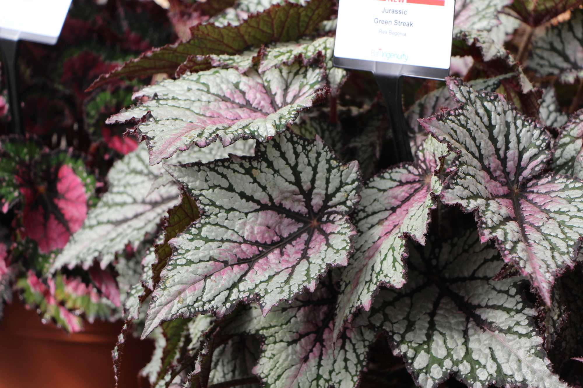 Jurassic Green Streak rex begonia from Ball Ingenuity