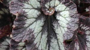 Foliage Begonias May Be A Big 2015 Trend [Spring Trials]