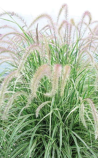 Graceful Grasses 'Sky Rocket' from Proven Winners