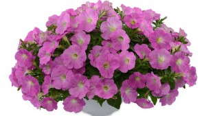 New Petunias Making Their Debut In 2015