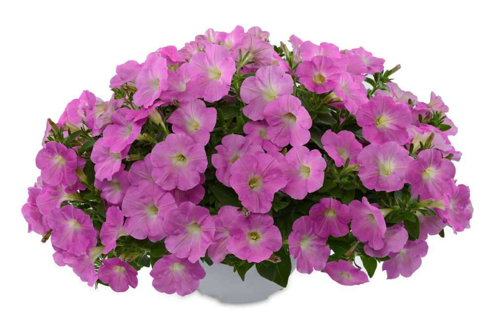Petunia 'Baroque Pink Ray' from Danziger