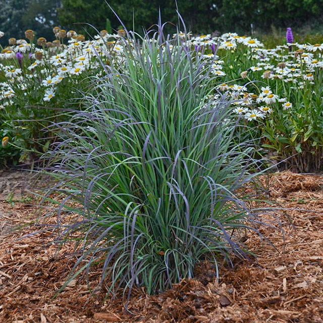 Outstanding ornamental grasses for landscapes and for Tall ornamental grasses for pots