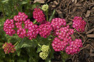 Achillea millefolium 'Ritzy Rose' (Blooms of Bressingham)