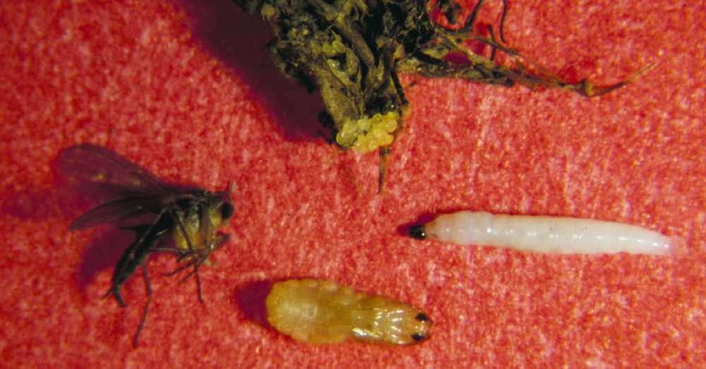 How Cultural Factors Impact Fungus Gnat Populations