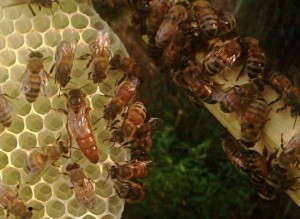 Honeybees With a Queen - Matt Libhart