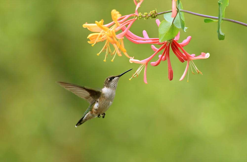 Hummingbird on lonicera